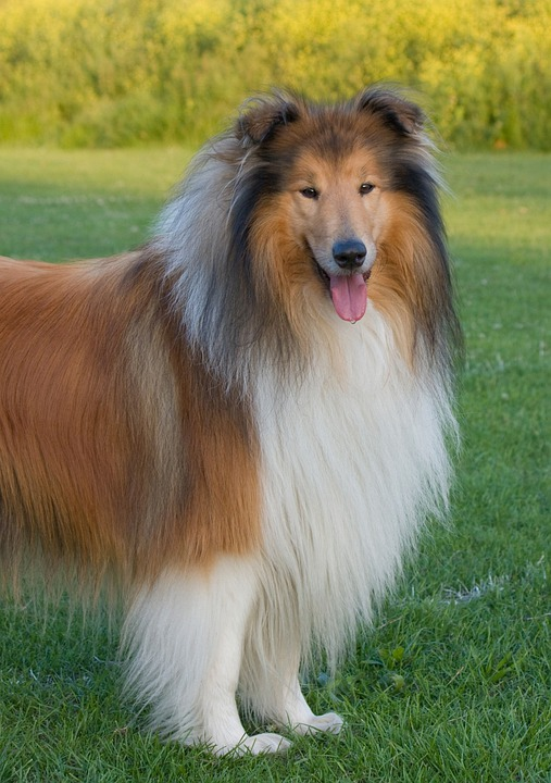 Dog, Rough Collie, Collie, Lassie, Animal, Pet, Canine