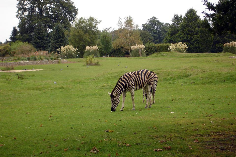 Zebra, Stripes, Safari, Animal, Fur, Mammal, Nature