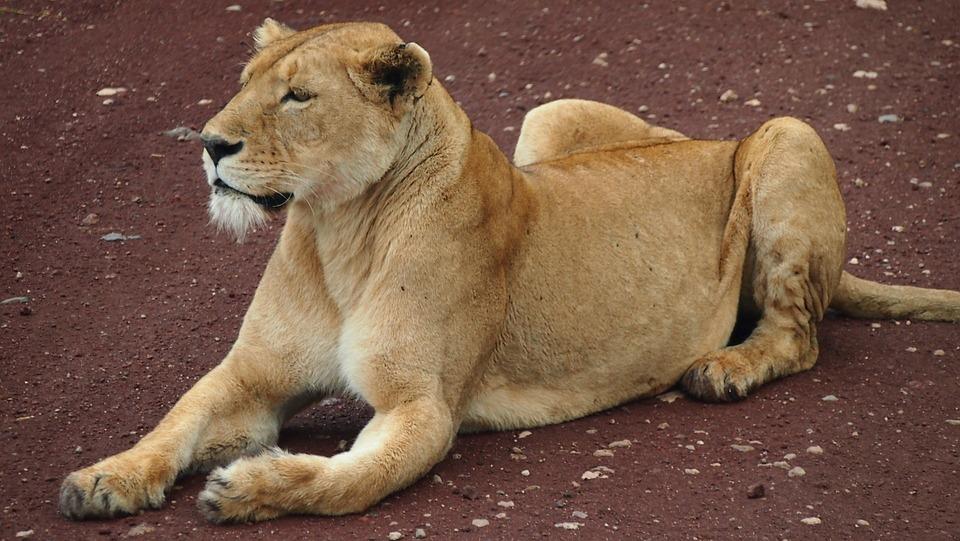 Safari, Africa, Tanzania, Lion, Animal, Wild, Predator