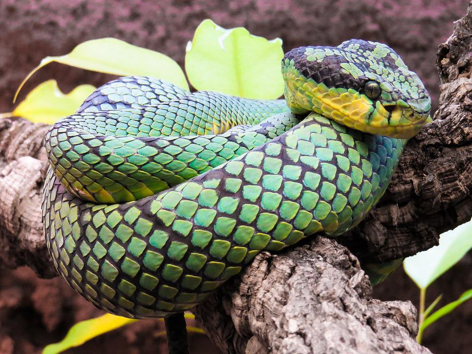 Animal, Snake, Python, Green, Constrictor, Scale, Head