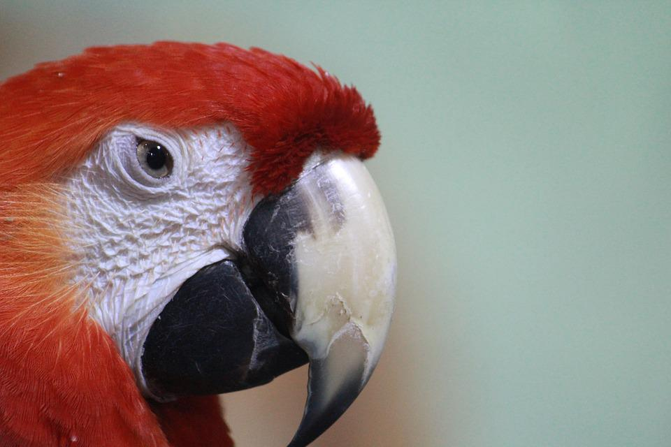 Macaw, Parrot, Red, Scarlet, Bird, Beak, Animal