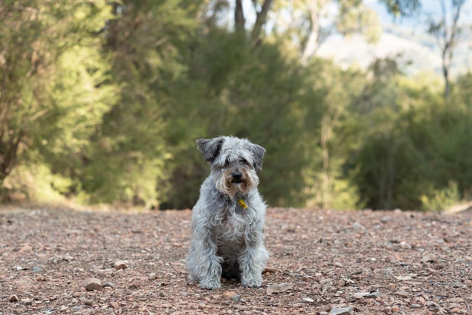 Schnoodle, Dog, Canine, Pet, Animal, Shaggy, Scruffy