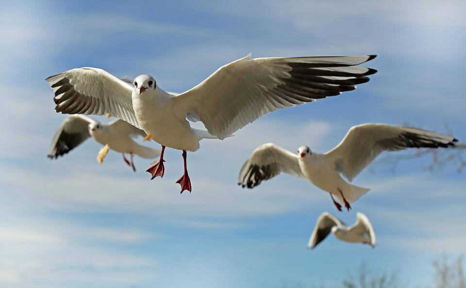 Seagull, Bird, Animal, Fly, Close, Coast, Water Bird