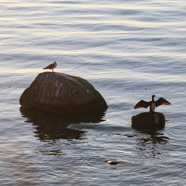 Birds, Seagull, Ornithology, Species, Animal, Avian