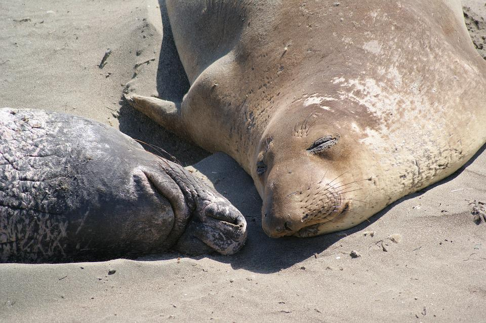 Seal, Couple, Beach, California, Animal, Mammal, Wild