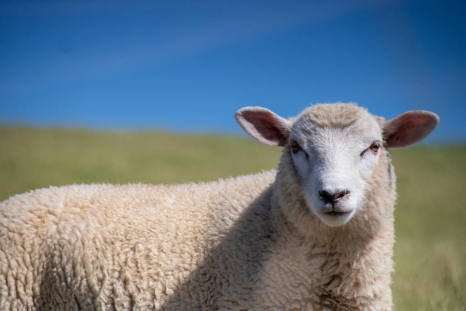 Sheep, Animal, Summer, Lamb, Nature, Wool, Cattle