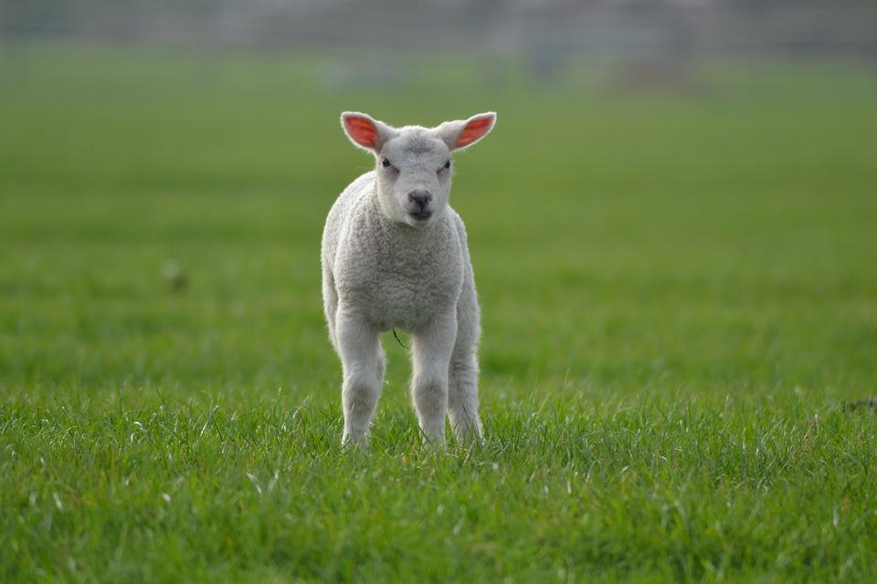Lamb, Sheep, Farm, Animal, Baby Animals, Farm Animals