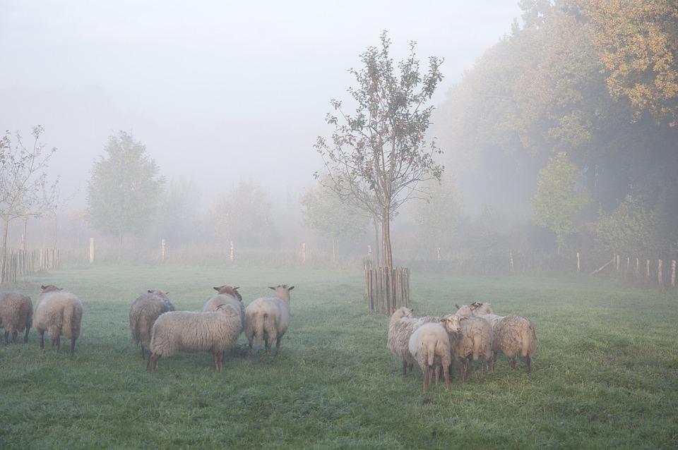 Sheep, Fog, Animal, Autumn