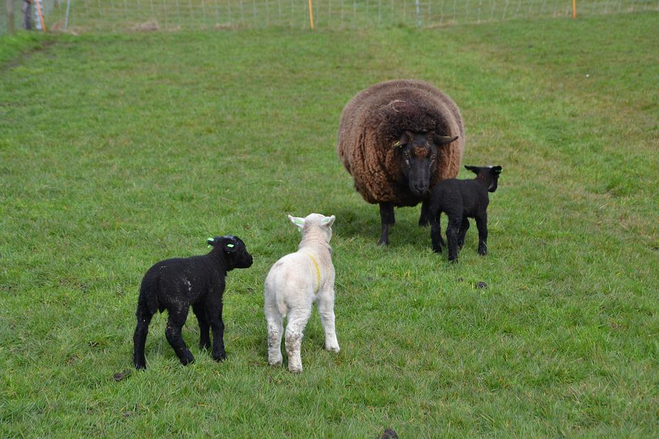Sheep, Lamb, Animal, Farm, Wool, Nature, Agriculture