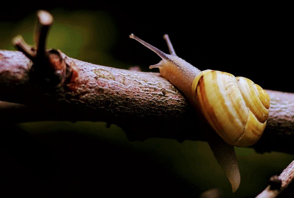 Snail, Copse Snail, Shell, Mollusk, Reptile, Animal