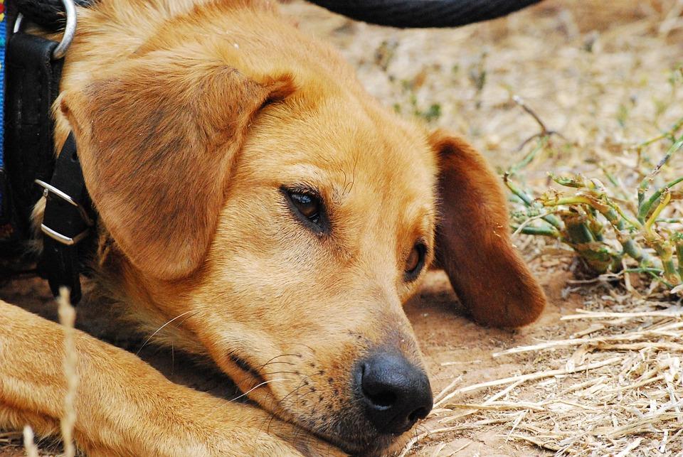 Dog, Sad, Exposed, Bitch, Animal Shelter, Dogs, Hybrids