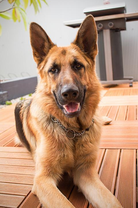 Dog, Shepherd, Doggy, German, Animal, Pet, Canine