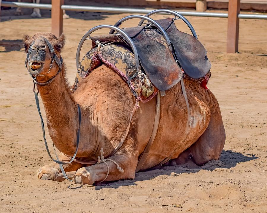 Camel, Sitting, Animal, Mammal, Portrait, Camel Park