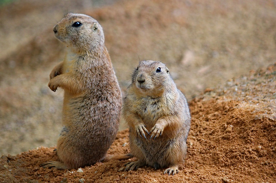 Prairie Dogs, Rodents, Couple, Sitting, Funny, Animal