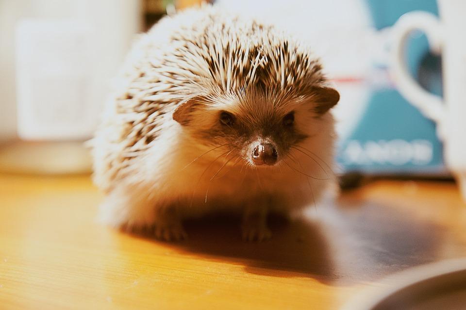 Hedgehog, Animal, Skewers