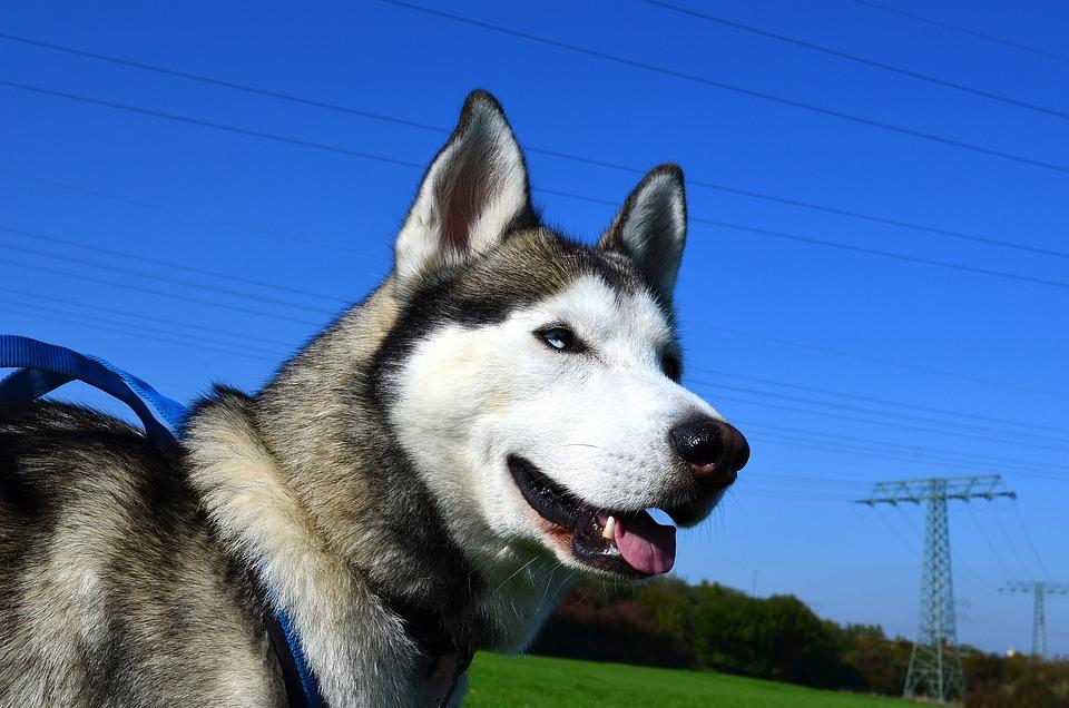 Husky, Sled Dog, Siberian Husky, Animal, Sunny, Nature