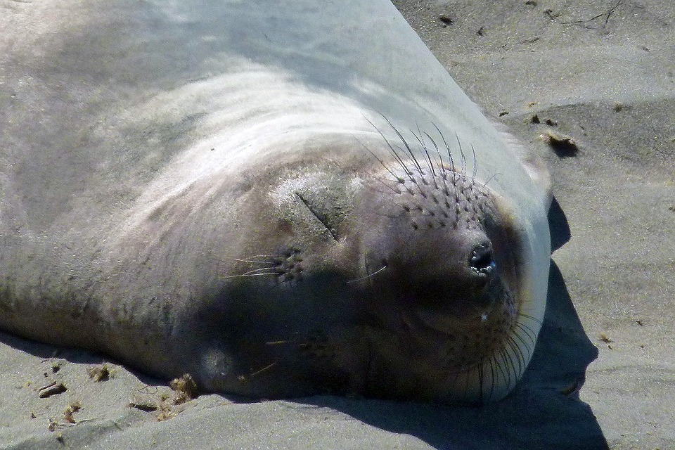 Seal, Sleeping, Animal, Nature, Sandy Beach, Coast