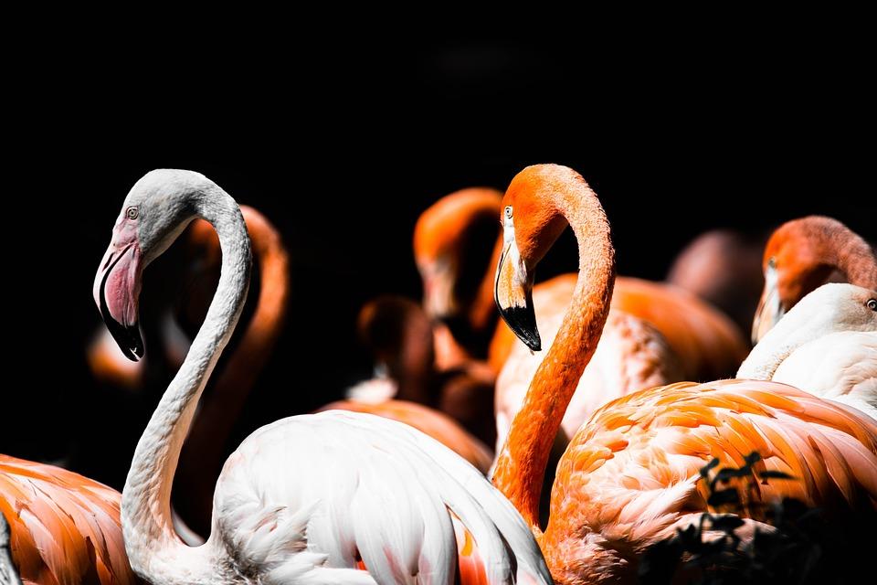 Flamingo, Herd, Swarm, Sleeping, Pink, Birds, Animal
