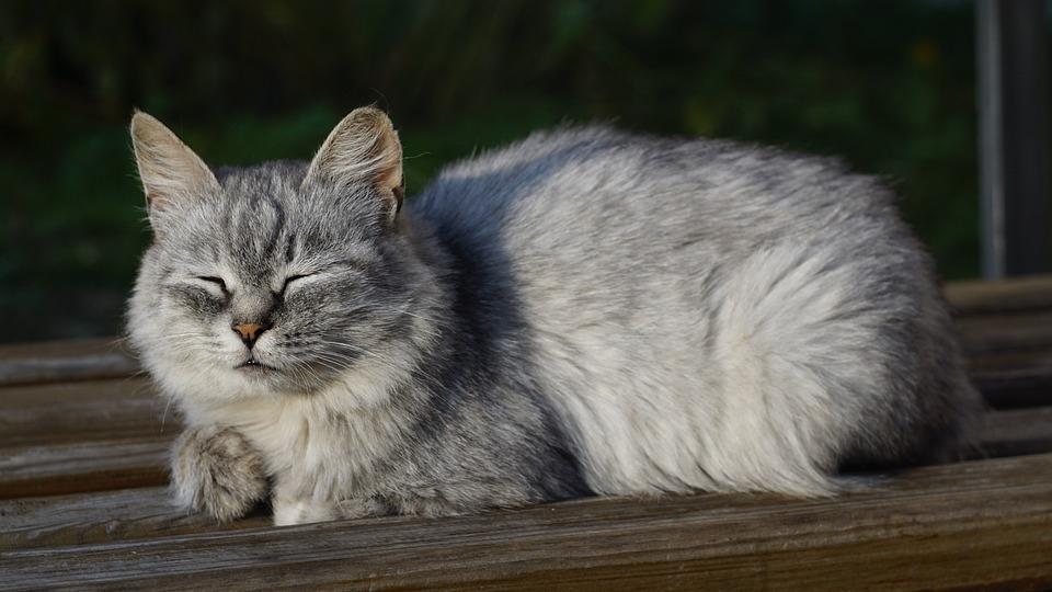 Cat, Pet, Feline, Animal, Fur, Mammal, Kitty, Sleeping