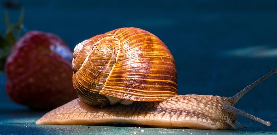 Animal, Snail, Shell, Probe, Crawl, Mucus, Strawberry