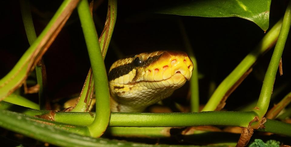 Nature, Animal World, Animal, Reptile, Snake, Python