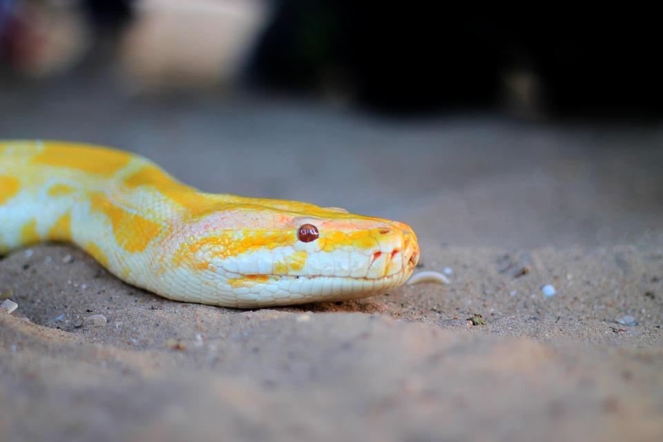 Snake, Animal, Reptile, Yellow, Skin