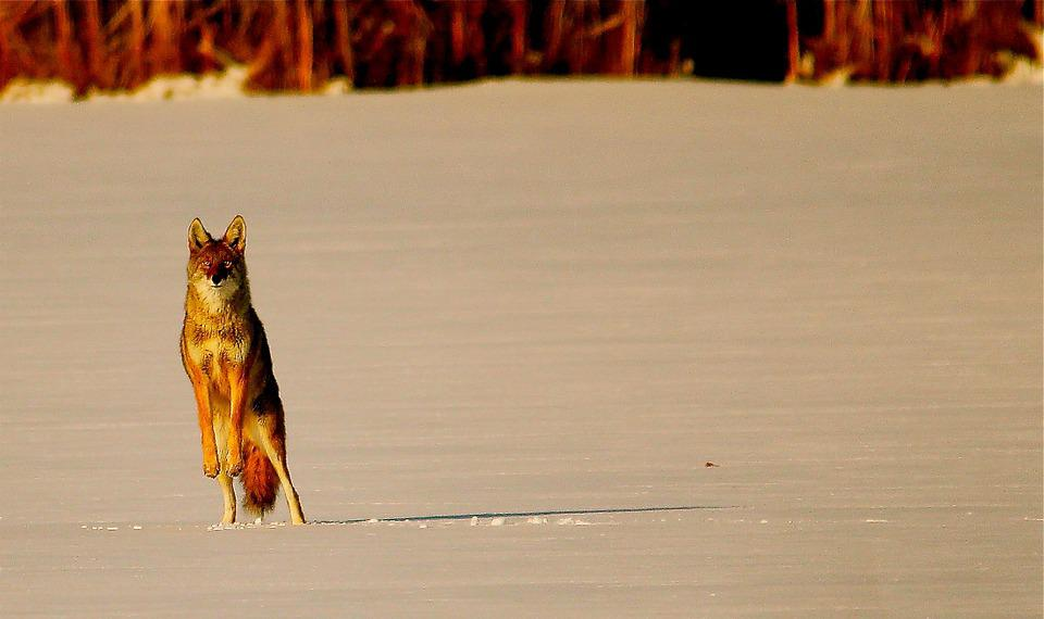 Coyote, Animal, Snow