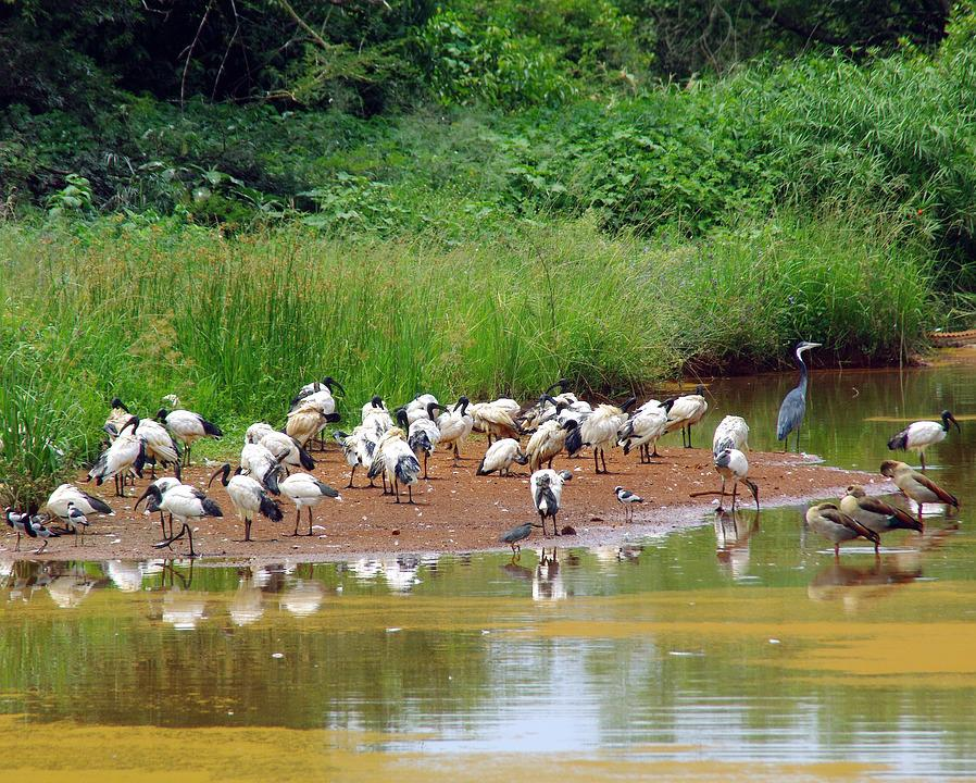 South Africa, Backwater, Birds, Ibis, Heron, Animal