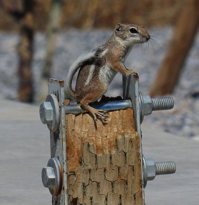 Antelope Squirrel, Squirrel, Southwest, Nature, Animal