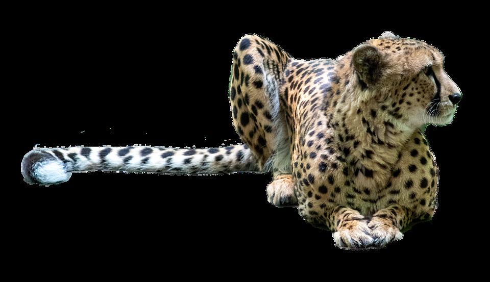 Animal, Cheetah, Mammal, Wildlife, Species, Fauna, Cat