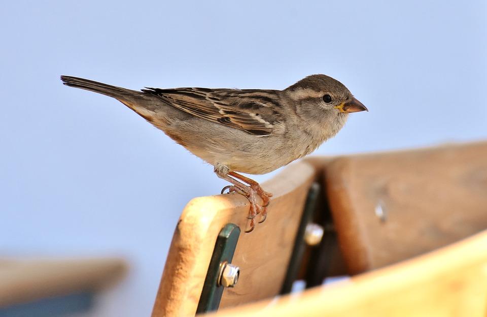Sparrow, Bird, Plumage, Nature, Sperling, Animal