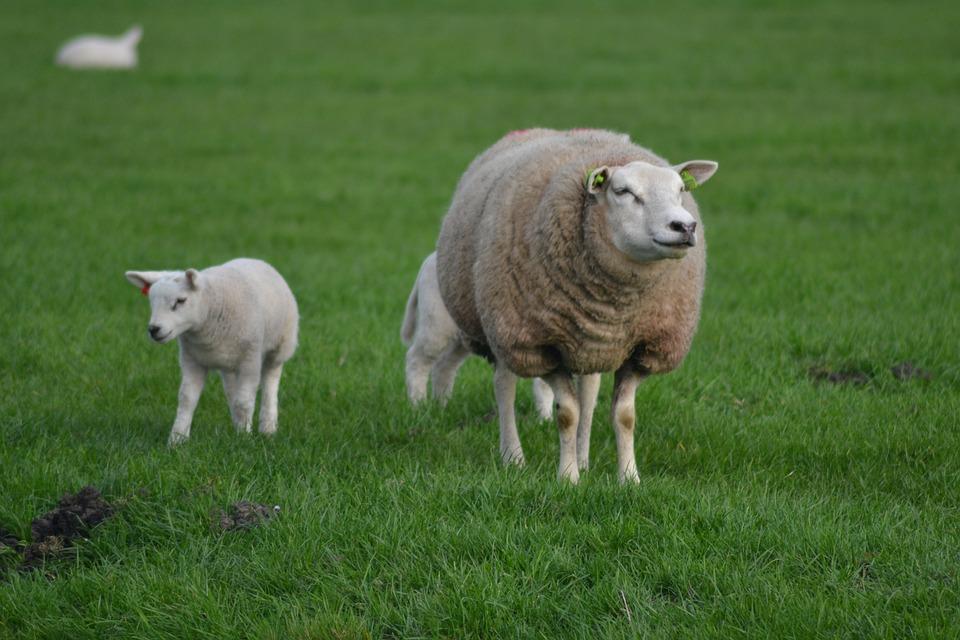 Sheep, Lamb, Animal, Farm, Spring, Cute, Baby