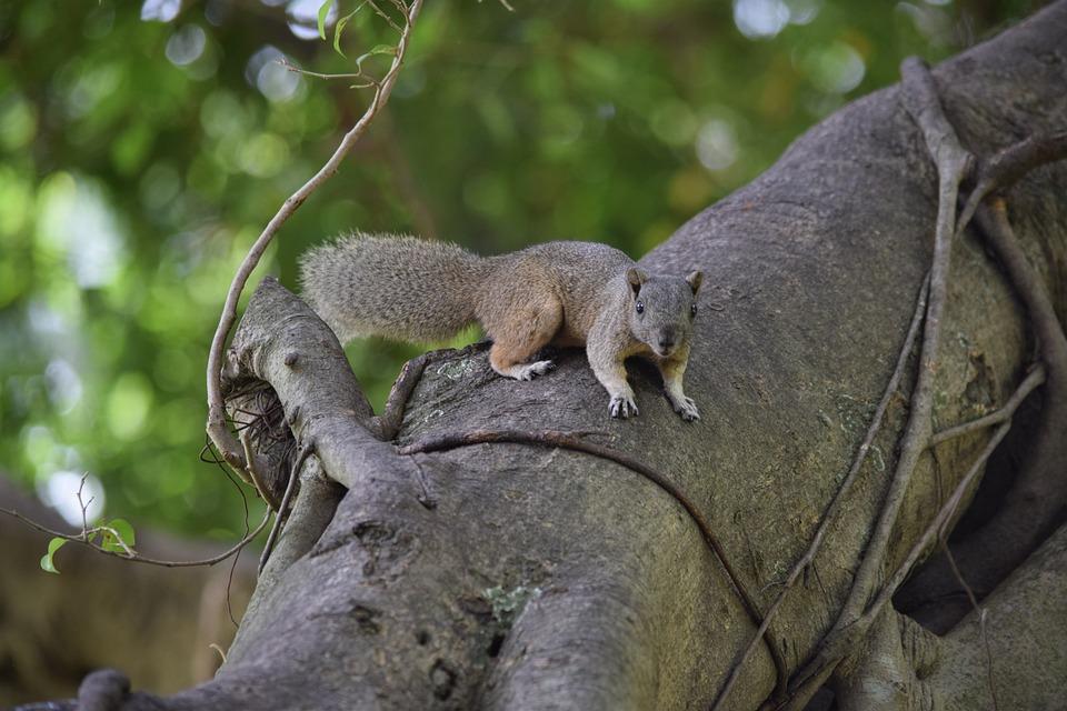 Squirrel Brown, Startled, Animal