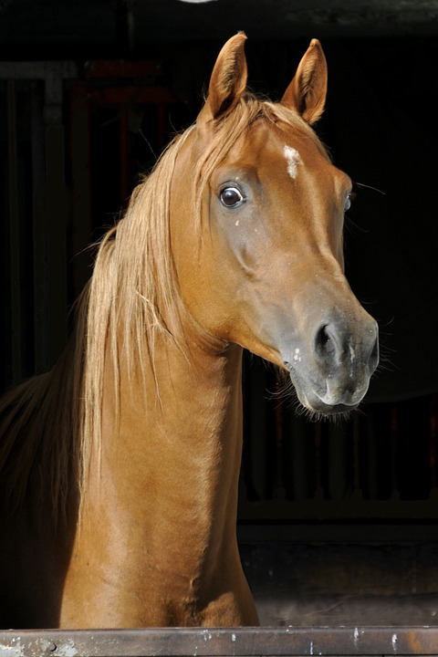 Horse, Thoroughbred Arabian, Animal, Stall, Attention