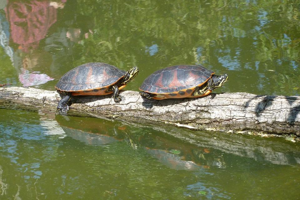 Turtles, Sun, Pond, Animal, Reptile