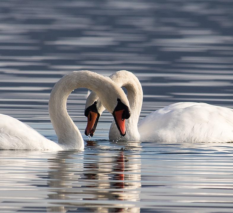Swan, Swans, Bird, Water Bird, Animal, Animal World