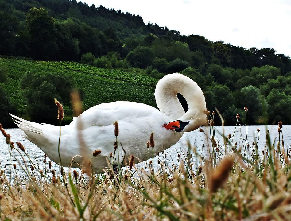 Swan, Water, Swans, Grass, Lake, Nature, Animal