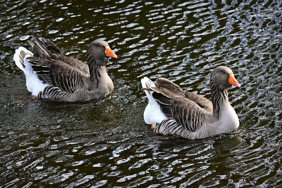 Goose, Water Bird, Animal, Swimming, Water, Pond