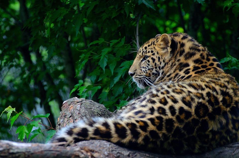 Leopard, Animal, Wildlife, Amur Leopard, Tawny, Mammal
