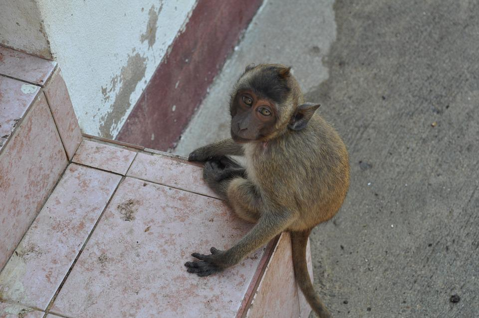 The Monkey, Thailand, Animal
