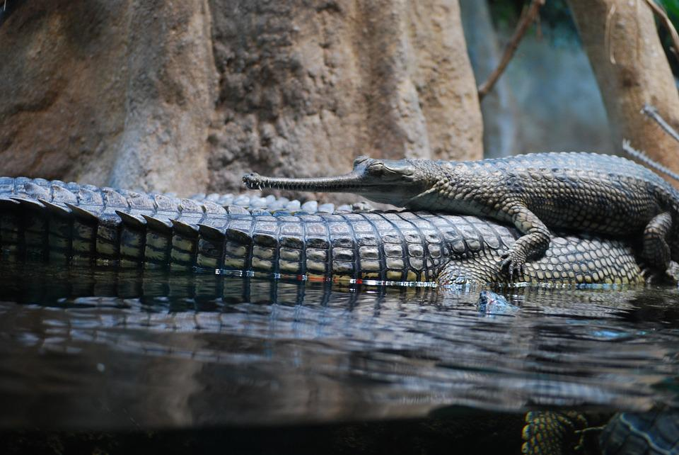 Crocodile, Animal, The Prague Zoo