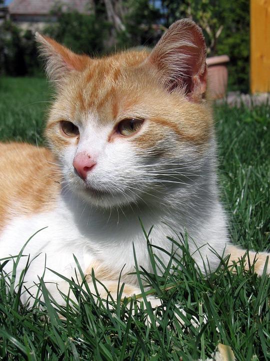 Cat, Tomcat, Animal