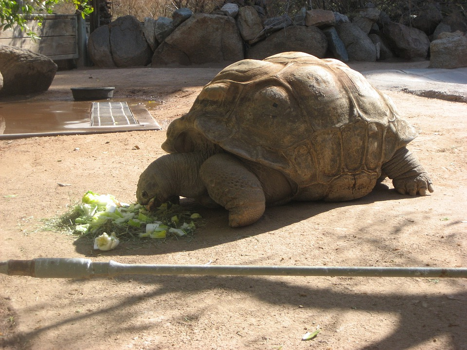 Tortoise, Zoo, Giant Tortoise, Animal, Nature, Turtle