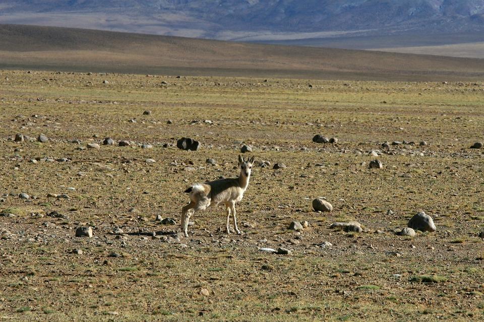 Tourism, Animal, Tibet