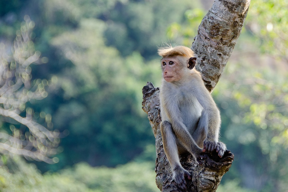 Monkey, Animal, Primate, Sri Lanka, Mammal, Cute, Tree