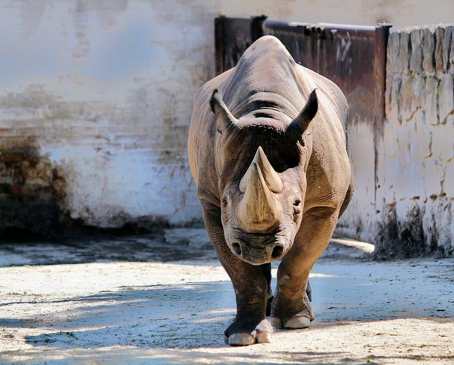 Rhinoceros, Pachyderm, Animal, Mammal, Two-horned