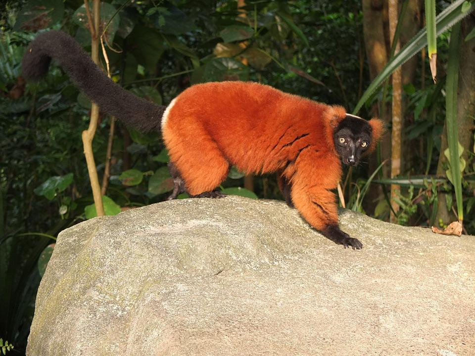 Red Vari, Zoo, Monkey, Half-monkey, Animal, Vari