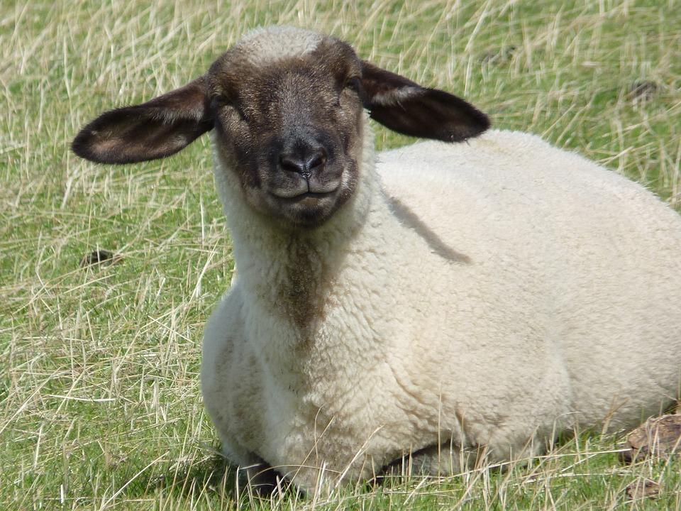 Sheep, Wool, Animal, View, Herd Animal