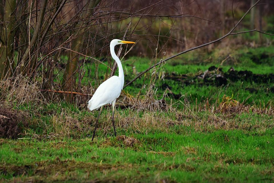 White Heron, Wading Bird, Wildlife, Wild, Animal