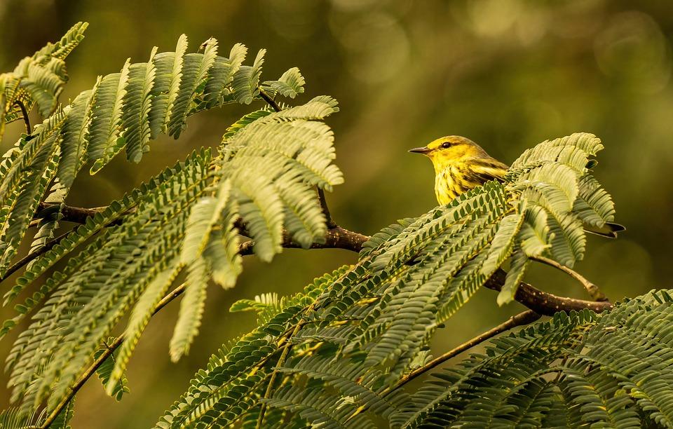 Warbler, Bird, Tree, Cape May Warbler, Animal, Wildlife